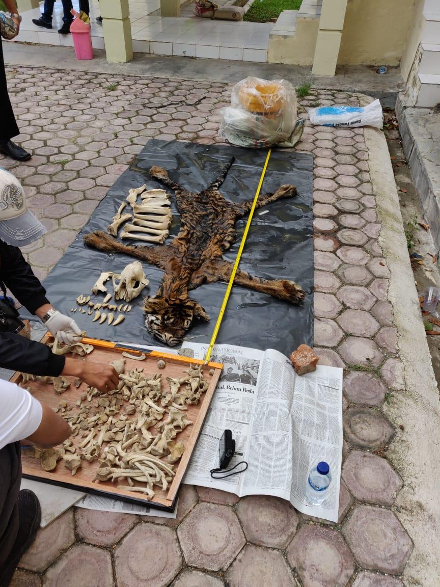 Polda Aceh Amankan Penjual Kulit Harimau di Bener Meriah