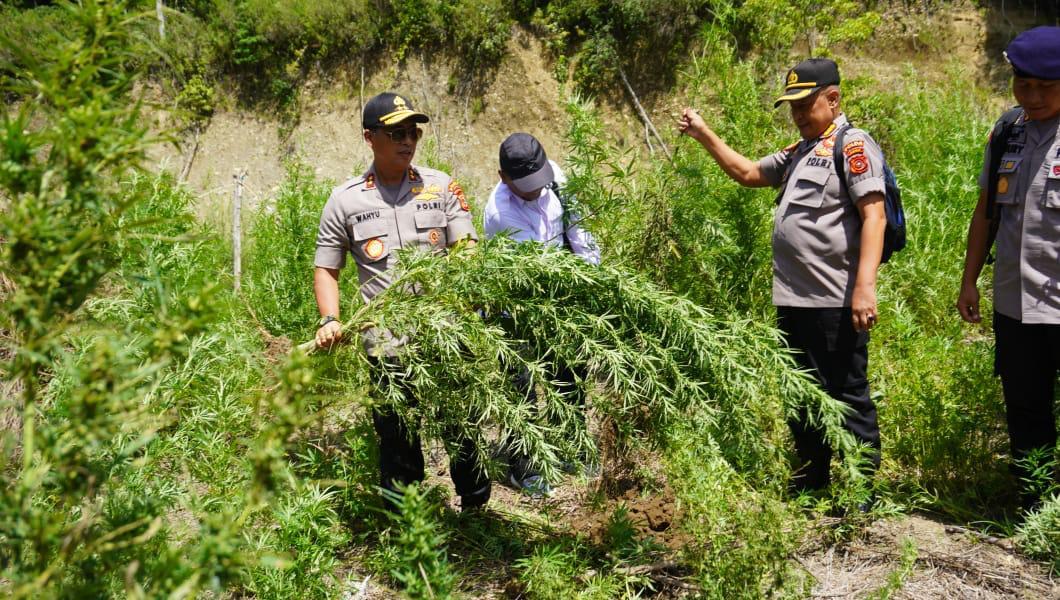 Kapolda Aceh Musnahkan Ladang Ganja di Gayo Lues